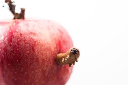 Apple Bug